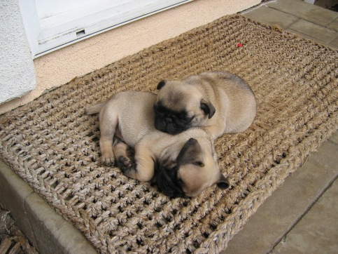 Pugs certainly understand the use of their time.