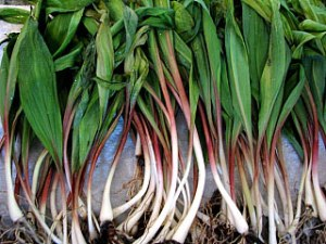 Wild ramps, make AMAZINg pesto!