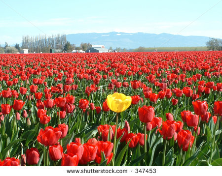 stock-photo-be-unique-standout-have-your-own-thoughts-be-the-yellow-tulip-in-a-red-tulip-field-347453