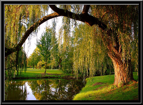 "Not ""my"" willow tree but you get the idea."