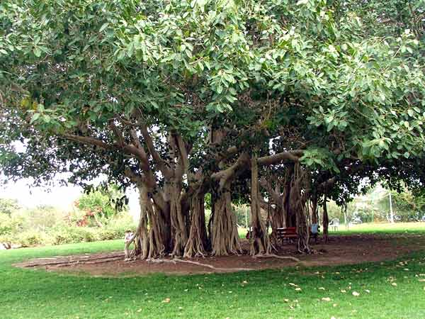 A very typical Asian Banyan tree.