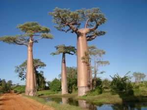The Baobabs of Madagascar