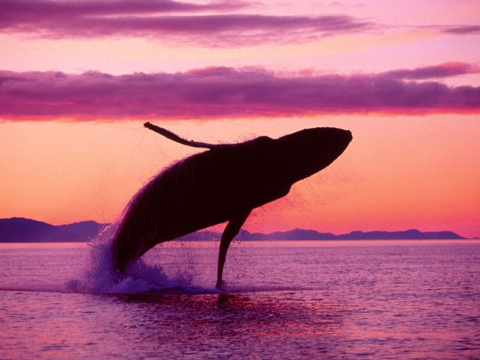 humpback-whale-sunset
