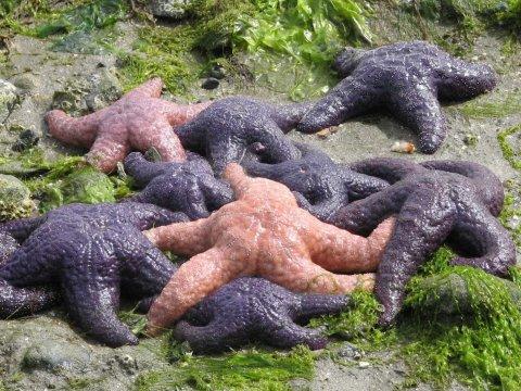 Starfish die off.