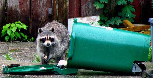raccoon-trash-collector