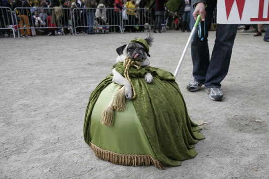 A pug dressed up as Scarlett O'Hara, at  the Tompkins Square Park Halloween Dog Parade