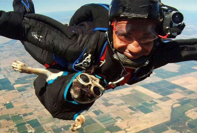 Skydiving pug
