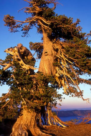 A Typical twisted but ancient Whitebark Pine found around Crater Lake.