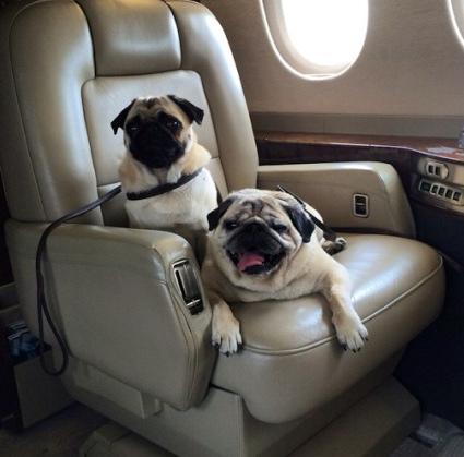 Jet-set Pug
