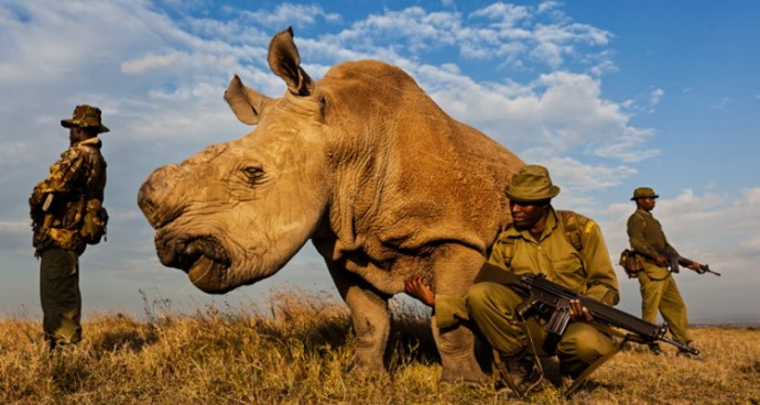 The last male nortnern white rhino  on Earth, under guard from poachers