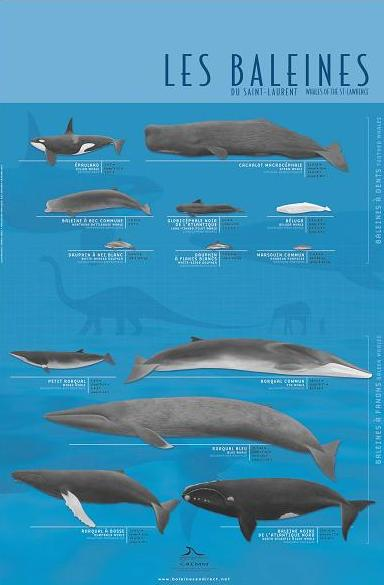 A French poster of all the whales found in the St. Laurence River basin