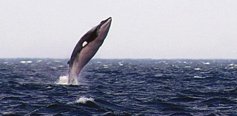 A minke whale breaching