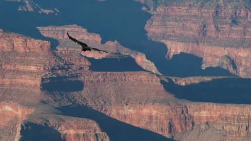 A condor, one of the largest birds in the world, flying over the Grand Canyon