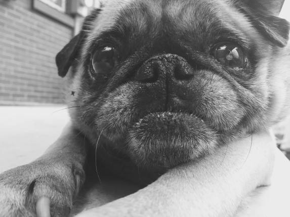 Berkeley the Pug 2005-2016. I hope you have a happy incarnation as the old wise man that you are.