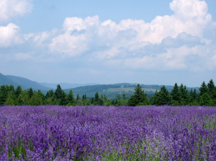 Lavender farm among the hills of the Eastern Townships.