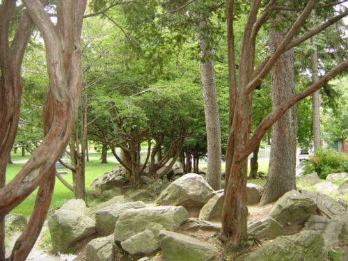 The Japanese Cedars, they can live for hundreds of years. Many temples and shrines in Japan have groves of these trees.