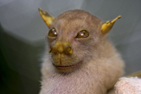 The tube-nosed fruit bat.